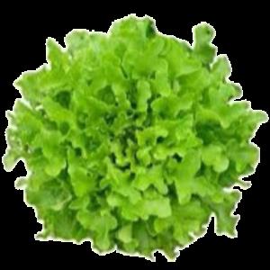 Alface Mimosa (UN) – Sem Agrotóxico